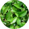 Camellia Sinensis Levél